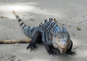 Iguana en Costa Rica